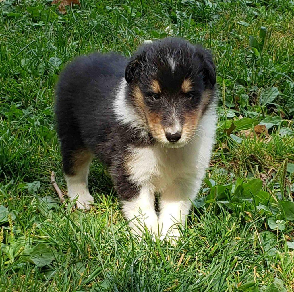 collie puppy 1 image