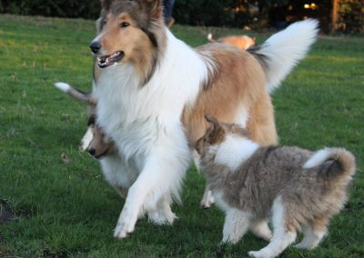collie named ashni with pupiies image