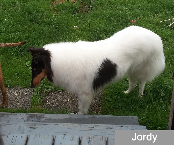 jordy white collie photo