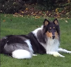 stunning collie .png