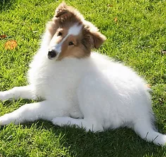collie breeding review pic