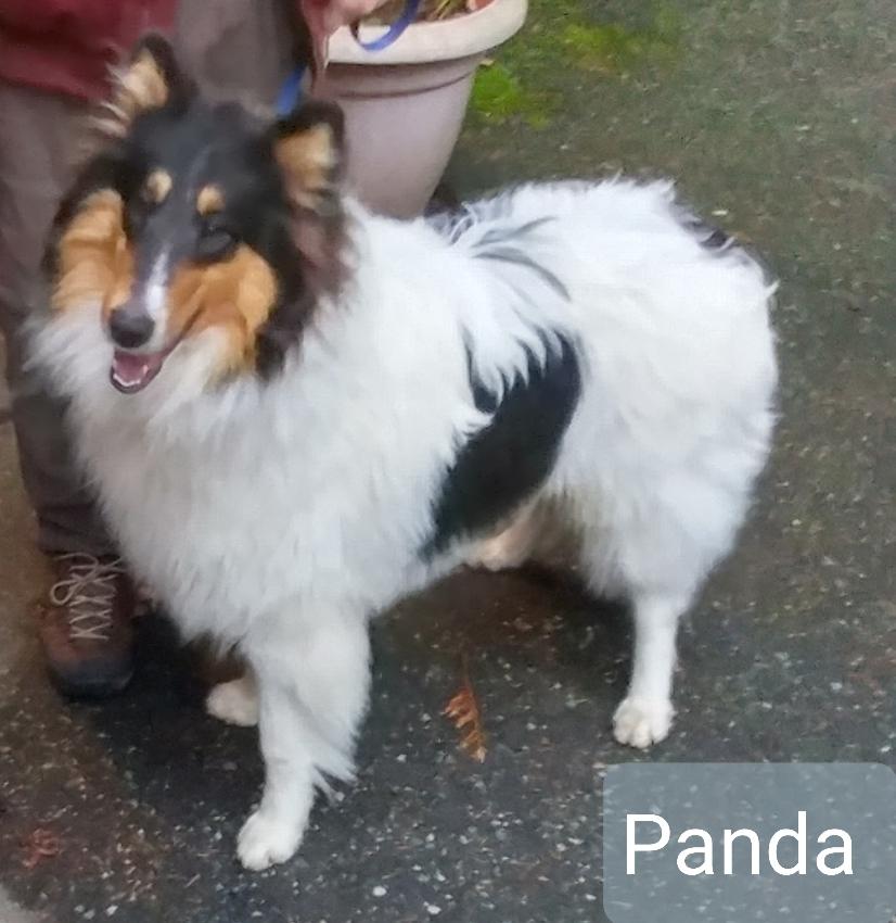 whiite collie named pnda pic