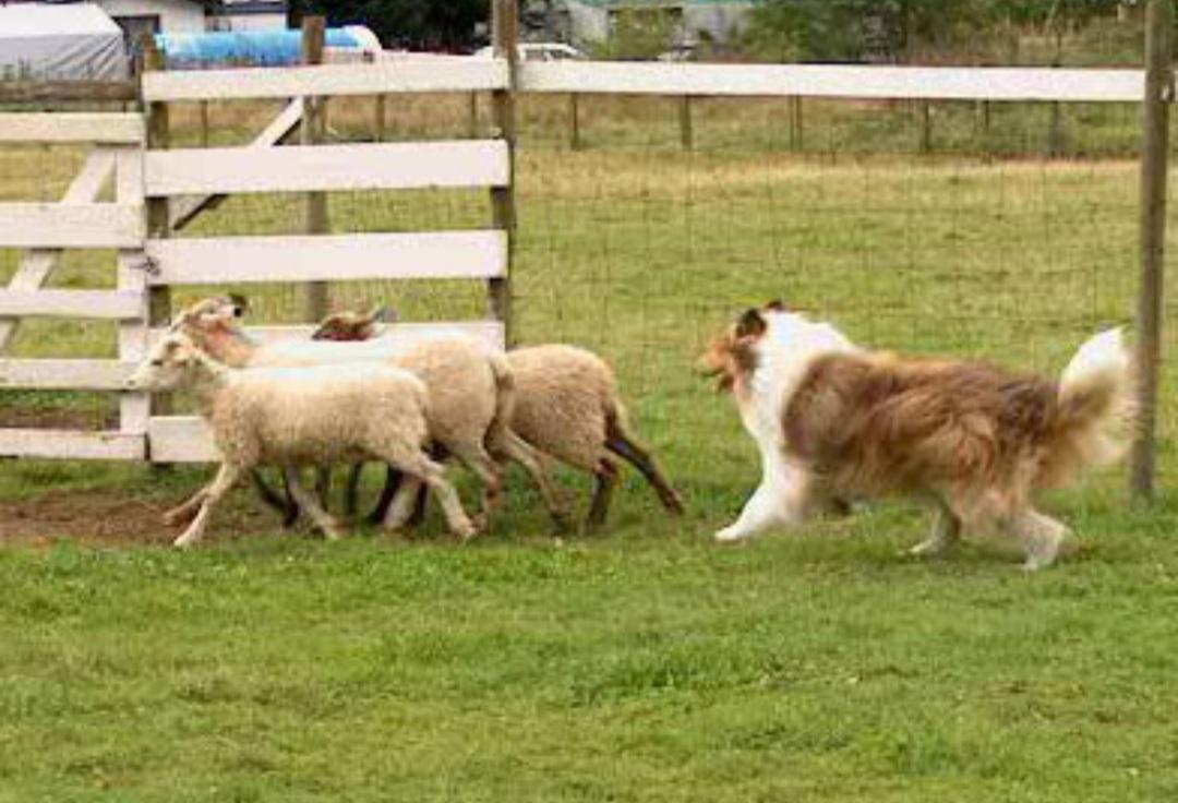 collie herding image
