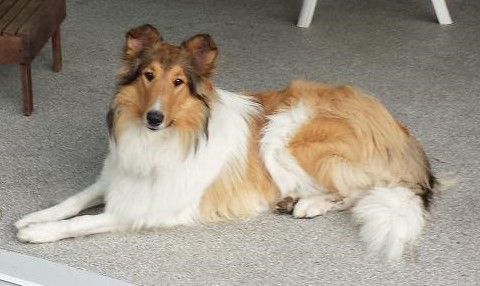 collie breeding image
