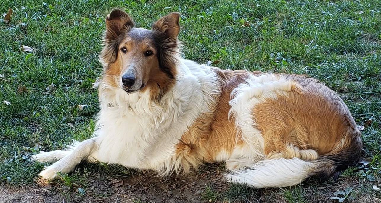 collie breeder pic