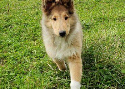 collie puppy 2 pic